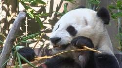 San Diego Zoo's beloved pandas to return home to China