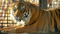 Tiger that attacked Topeka zookeeper won't be euthanized
