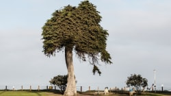 Iconic 'Lorax' tree topples over in La Jolla