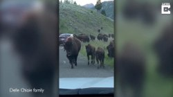 Tourists caught in massive bison stampede in frightening video