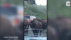 Family caught in bison stampede describe 'total fear' during charge