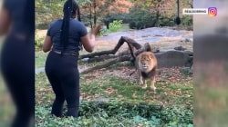 Woman seen climbing into Bronx Zoo exhibit to taunt lion