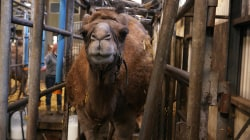 Camel milk sales grow as more people want alternatives