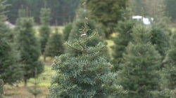 Christmas tree shortage could cost you plenty of green