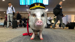World's first airport therapy pig eases pre-flight anxiety for passengers