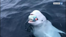 Beluga whale plays fetch, and more Highs and Lows
