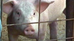 Japan To Allow Pig-To-Human Transplants by 2019