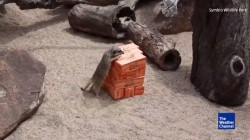 Meerkats Play Jenga Because They Can