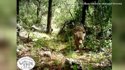 See America's only known wild jaguar, caught on camera