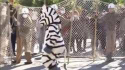 Watch Tokyo zoo conduct a zany animal escape drill