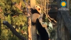 Watch Bei Bei the panda cub climb with some help from mom