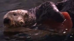 Otter Celebrates Valentine's Day with Heart-Shaped Ice