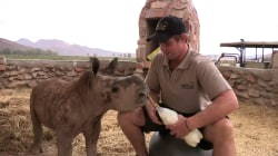 Watch Adorable Baby Rhino Get VIP Treatment