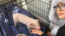 This family rescued a piglet from the snow and nursed it back to health