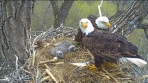 A Postcard from the Field: The Decorah Eagles