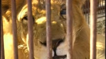 Saved From the Big Top: Circus Lions Head Home to Africa