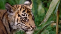 Tiny Roar! Adorable Tiger Cubs Make Debut