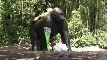 Fallout from the shooting of gorilla in Cincinnati Zoo