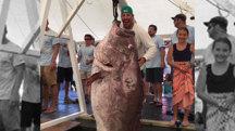 Anglers Land Huge Grouper