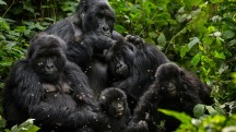 Harambe's Endangered Brothers