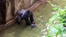 4-Year-Old Falls Into Gorilla Enclosure at Zoo