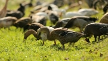 No Joke: So 1,000 Ducks Walk into a Vineyard...