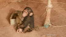 Mystery Apes of the Congo: A Chimp in Trouble