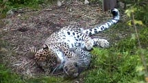 Russia Tries to Change Its Spots With Rare Leopard Species