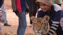 Tigers Removed From Controversial Buddhist Temple