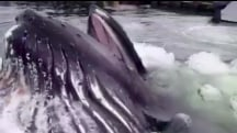 Humpback Whale Gets Up Close and Personal at Marina