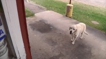 11-year-old Labrador is BBQ restaurant's top customer