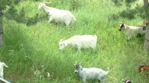 Hungry Goats Alternative to Fire Prevention in Colorado