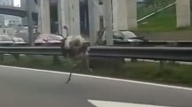 Caught on Camera: Ostrich Races Traffic on Busy Highway