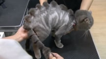 This salon can make your cat look like a dinosaur