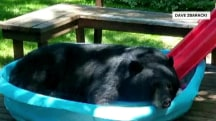 Bear chills out in kiddie pool; homeowner loses his cool