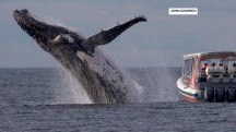 Whale watchers miss seeing humpback breach only yards away