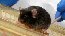 Mayo Clinic Mice May Lead the Way to the Fountain Of Youth