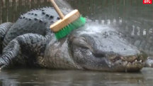 Annual 'Alligators Get a Bath Day' in Japan