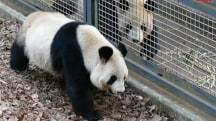Pandas Looking For Love