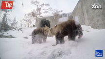 Bears Awake From Hibernation a Month Early