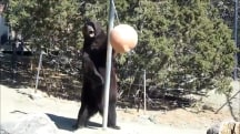 Black bear is game for a tetherball challenger