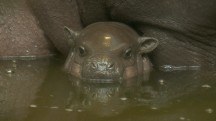 Boy or Girl? Cute Pygmy Hippopotamus Has Zookeepers Guessing