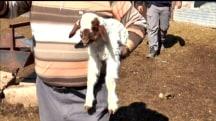 Meet The Incredible Two-Legged Lamb Called Angel