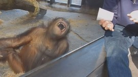 This orangutan is ROFL! See a simple magic trick delight this primate