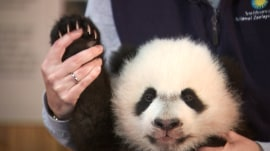 Say hello to Bei Bei the baby panda!