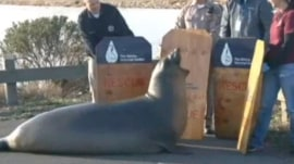 Watch: Seal blocks busy highway in Bay Area