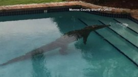 Crocodile chills for a while in a backyard pool