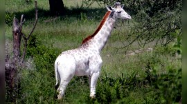 Extremely rare white giraffe spotted in African national park