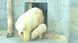 Baby polar bear emerges from den at Toledo Zoo