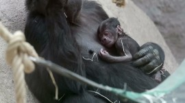 Newborn gorilla surprises zookeepers at Prague Zoo